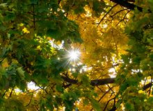 Yellow maple leaves in autumn. The sun shining through the leaves Stock Photography