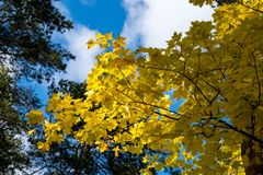 Yellow maple leaves in autumn. The sun shining through the leaves Royalty Free Stock Photo