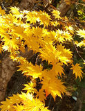 Yellow maple leaves. On autumn sunny day travelling around Fuji Mountain Lake in Japan Stock Image