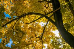 Yellow maple leaves in autumn. The sun shining through the leaves Stock Image
