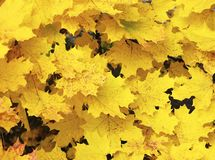 Yellow maple leaves autumnal background. Golden autumn.Fall season concept. stock image
