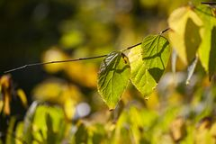 Yellow maple leaves, autumnal natural background, selective focus stock image