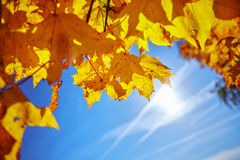 Yellow maple leaves on the background of the autumn sky. Yellow maple leaves against the sky in the autumn, illuminated by sunlight royalty free stock photo