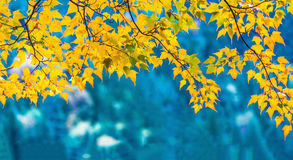 Yellow maple leaves. Background is blue river Royalty Free Stock Photography