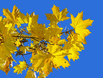 Yellow maple leaves on the background of blue sky Royalty Free Stock Photos