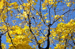 Yellow maple leaves on the background of blue sky. Maple autumn in Moscow Park. Russia Stock Photography