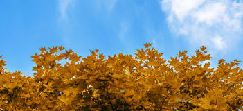 Yellow maple leaves on background of blue sky Stock Photography