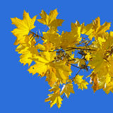 Yellow maple leaves on the background of blue sky Stock Photos