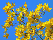 Yellow maple leaves on the background of blue sky Royalty Free Stock Images