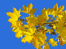 Yellow maple leaves on the background of blue sky Stock Photo