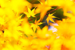 Yellow maple leaves background Royalty Free Stock Photo