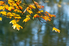 Yellow maple leaves on the background of the pond in autumn Stock Image