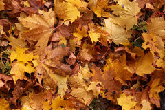 Yellow maple leaves background Stock Image