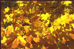 Yellow maple leaves begin to turn yellow in autumn closeup Stock Photos