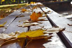 Yellow maple leaves on a bench in the park. Yellow maple leaves on a bench in a city park royalty free stock photo