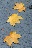 Yellow maple leaves on a black background Stock Photography