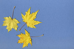 Yellow maple leaves on blue paper Stock Image