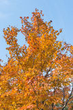 Yellow Maple leaves. On a blue sky Stock Image
