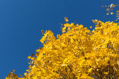 Yellow maple leaves on blue sky background Royalty Free Stock Photo