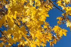 Yellow maple leaves on blue sky background Stock Photos