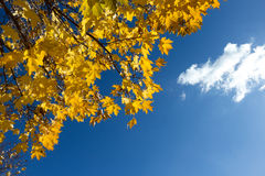 Yellow maple leaves on blue sky background. Branch of yellow maple leaves on blue sky background Royalty Free Stock Image