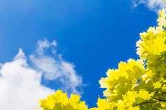 Yellow maple leaves and blue sky with clouds, sun Stock Photography