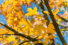 Yellow maple leaves on blue sky Stock Photo