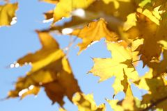 Yellow maple leaves on branch on blue sky background royalty free stock photos