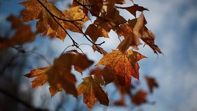 Video yellow maple leaves on a branch in autumn. Yellow maple leaves on a branch in autumn stock video footage