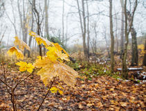 Yellow maple leaves on the branch in late autumn Stock Photography