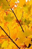 Yellow maple leaves Royalty Free Stock Photos