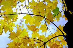 Yellow maple leaves Royalty Free Stock Images