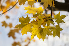 Yellow maple leaves on the branches. Against the blue sky Stock Photography