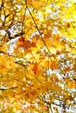 Yellow maple leaves on branches in autumn Royalty Free Stock Photo
