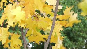Yellow maple leaves on breeze stock video footage