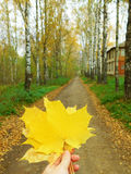 Yellow maple leaves. A bunch of yellow maple leaves in a hand royalty free stock photo