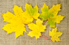Yellow maple leaves at burlap Stock Photography