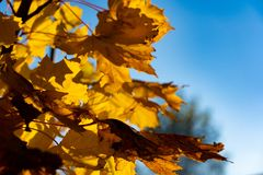 Yellow maple leaves. Close-up of autumn leaves