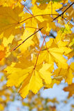 Yellow maple leaves close up Stock Image