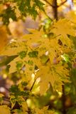 Yellow maple leaves. Autumn maple leaves fall, autumn nature concept. Natural landscape. Maple branch in autumn season. royalty free stock photography