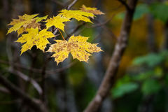 Yellow maple leaves Royalty Free Stock Photo