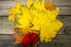 Yellow maple. Leaves are collected for the herbarium Stock Images
