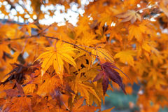 Yellow maple leaves. Color of autumn in Japan Royalty Free Stock Photo