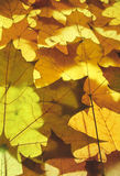 Yellow maple leaves. Color detail photography of autumn maple leaves Stock Photo