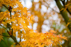Yellow maple leaves corner blurred background Stock Photos