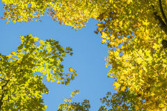 Yellow Maple Leaves in the Fall #4 Royalty Free Stock Images