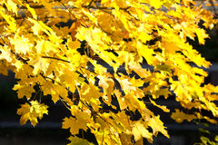 Yellow maple leaves fall autumn Stock Image