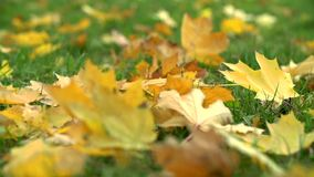 Yellow Maple Leaves Fall on a Green Grass stock video footage
