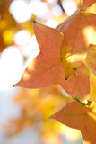 Yellow maple leaves in fall season Stock Photo