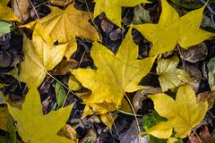 Yellow maple leaves. Fallen yellow maple leaves on gray earth. City park, autumn, October. Natural lighting, top view Stock Photos